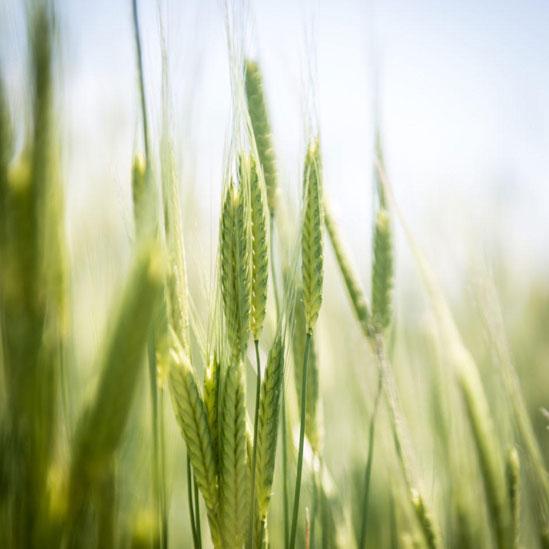 azienda agricola grano